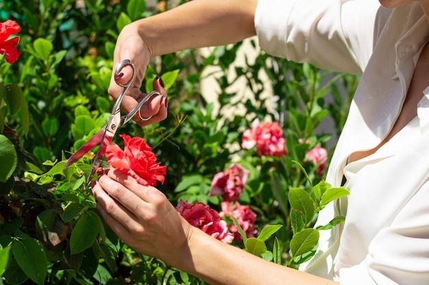 Fille coupe des roses avec des ciseaux dans un buisson.