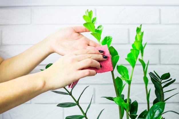 La fille essuie les feuilles vertes de la fleur avec un chiffon rose. concept de ménage