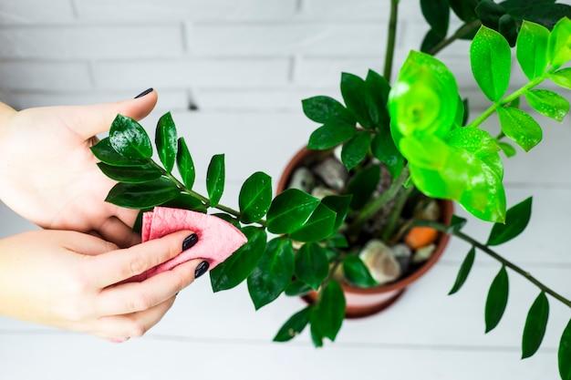 La fille essuie les feuilles vertes de la fleur avec un chiffon rose.