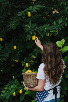 Une fille de jardinier dans un tablier rayé bleu avec son dos à la caméra choisit un citron mûr d'un arbre