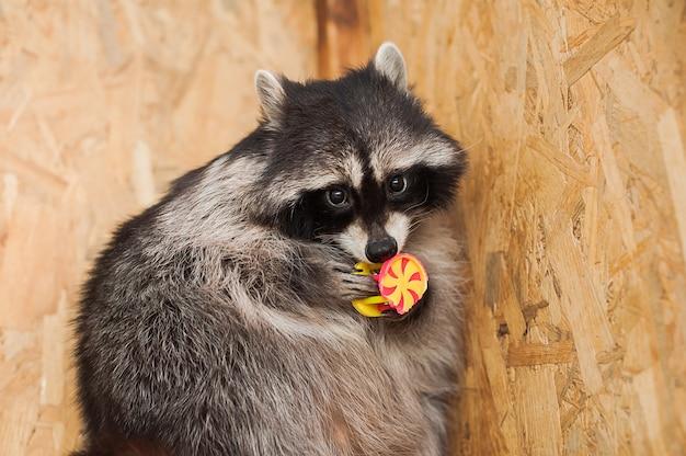 Fille nourrir un raton laveur dans un zoo.