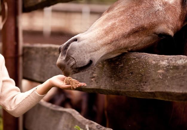La fille nourrit le cheval dans une ferme équestre
