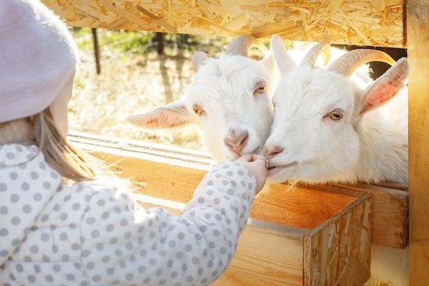 Fille nourrit deux chèvres blanches avec une feuille de chou