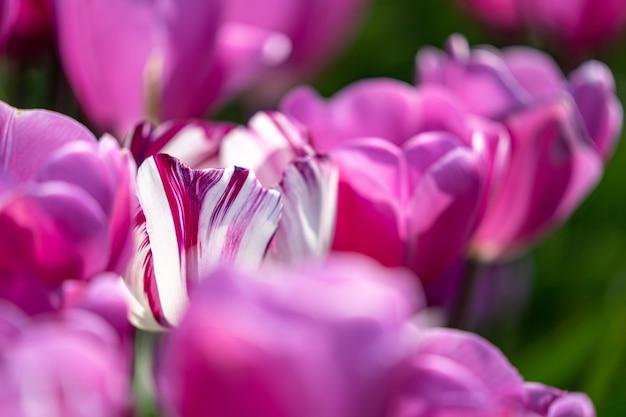 De la fin avril au début mai, les champs de tulipes aux pays-bas ont éclaté de manière colorée en pleine floraison. heureusement, il y a des centaines de champs de fleurs disséminés dans la campagne néerlandaise, qui
