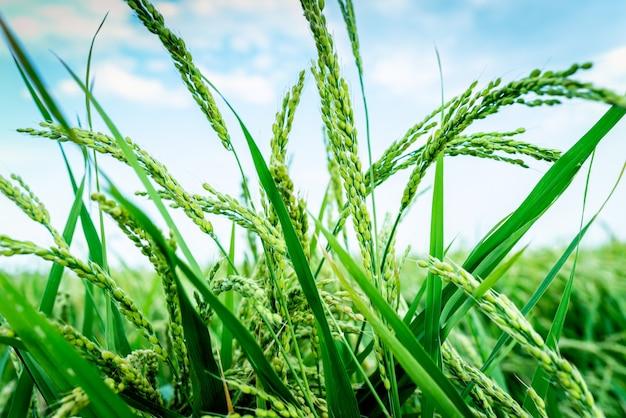 La fin de l'été est le moment de récolter les épis de riz dans les cultures espagnoles.