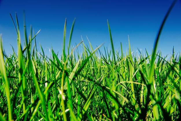 Fin, haut, frais, épais, herbe