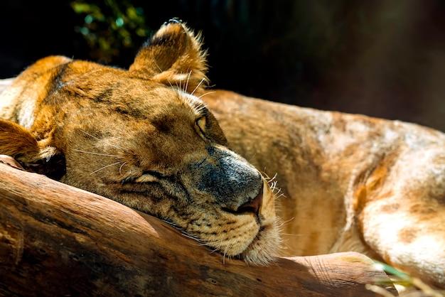 Fin, haut, lionne, dormir