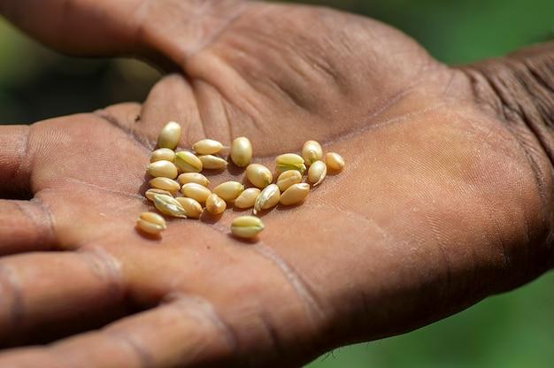 Fin, haut, paysan, mains, tenue, blé, grains