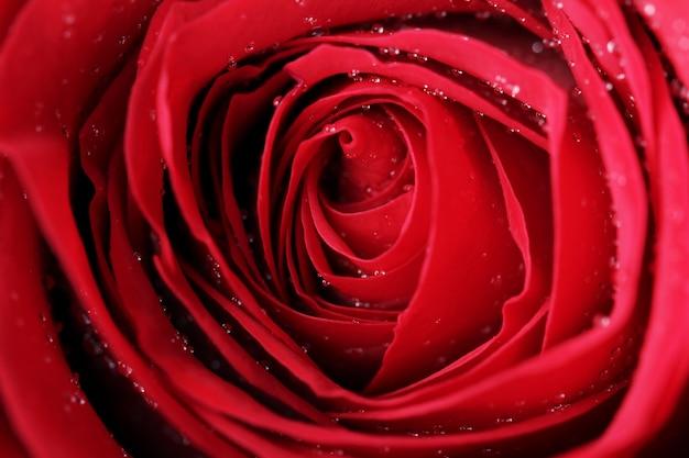 Fin, haut, rose rouge, fleur