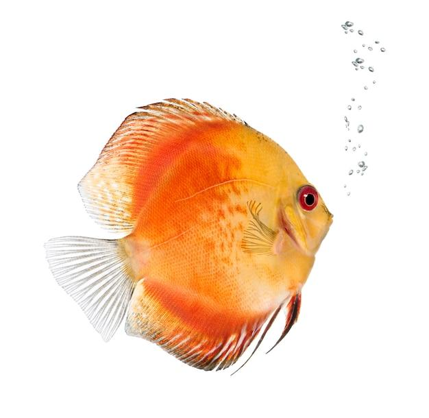 Fire red discus (poisson) - symphysodon aequifasciatus sur un blanc isolé