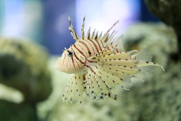 Firefish tropical devil ou lionfish le nom commun nagent.