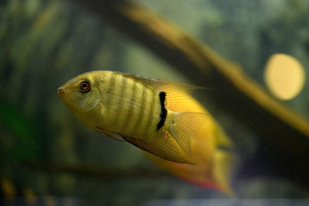 Fish severum cichlid nage dans l'aquarium.