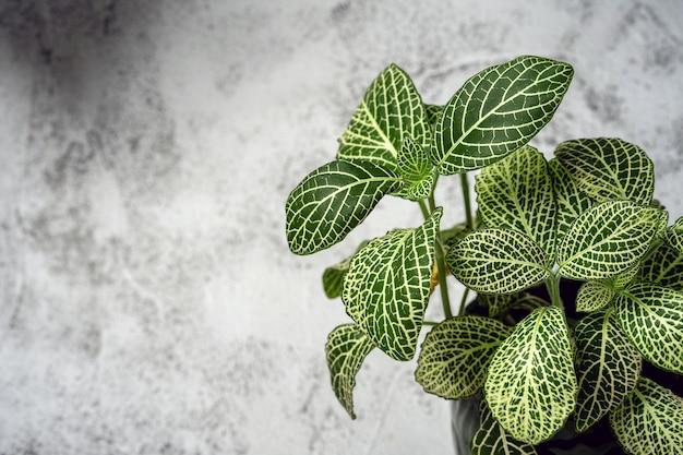 Fittonia est une plante verte sur mur gris