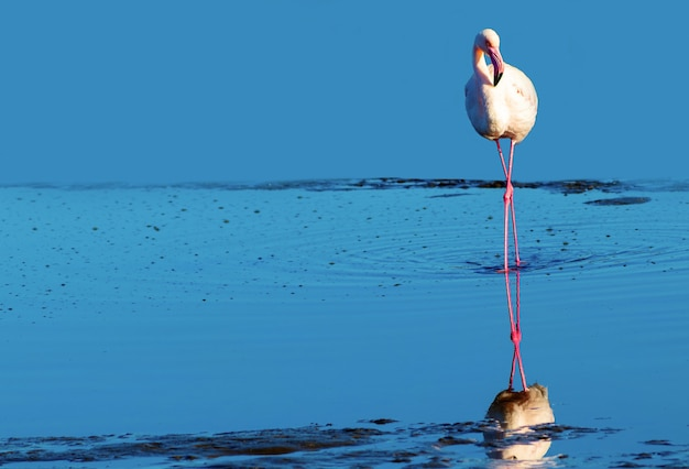Un flamant blanc africain marchant sur le lac salé bleu. oiseau namibien
