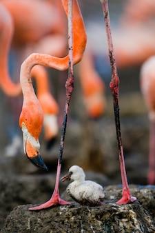 Flamant des caraïbes sur un nid avec poussin. cuba.