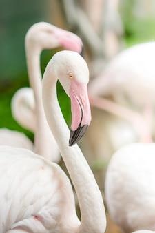 Flamant rose-gros plan, il a une belle coloration des plumes