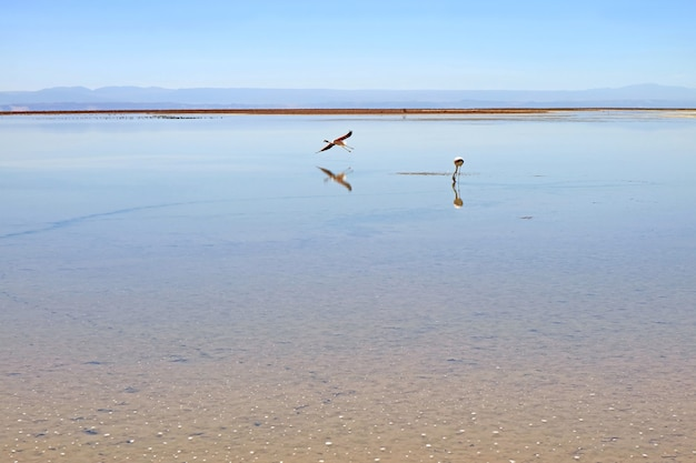 Un flamant rose volant avec un pâturage dans la lagune de chaxa, salar de atacama salt flat, chili