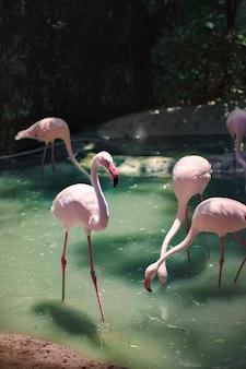 Flamants roses au zoo