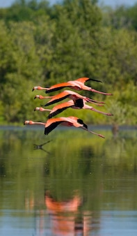 Les flamants roses des caraïbes volent au-dessus de l'eau