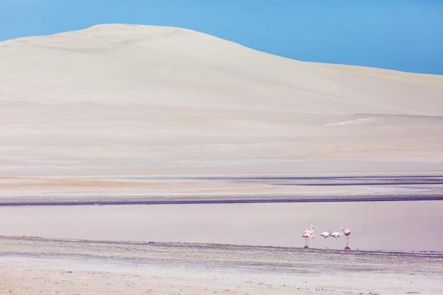 Flamants roses dans le désert d'ica pérou