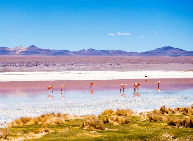 Flamants roses dans le lagon du colorado