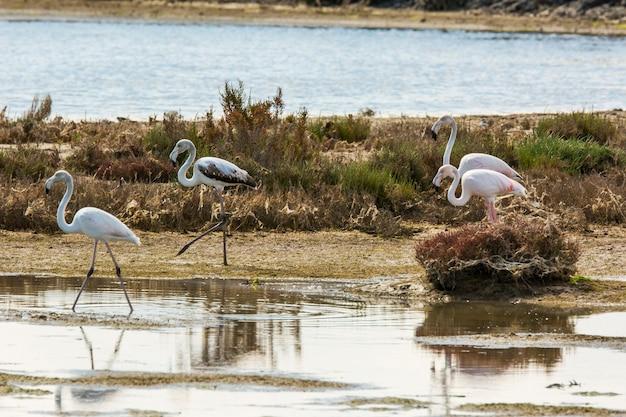 Flamants roses dans le parc naturel du delta de l'ebre, tarragone, catalogne, espagne