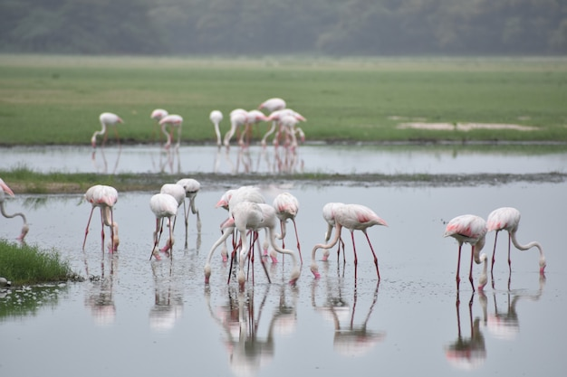Flamants roses fond nature