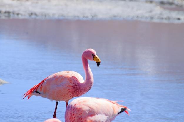 Flamants roses à laguna hedionda, en bolivie