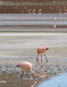 Flamants roses paissant dans les eaux salées peu profondes du lac laguna hedionda, altiplano bolivien, potosi, bolivie