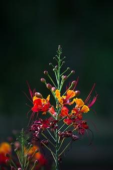 Flamboyant et the flame tree, royal poinciana avec des fleurs orange vif dans le parc