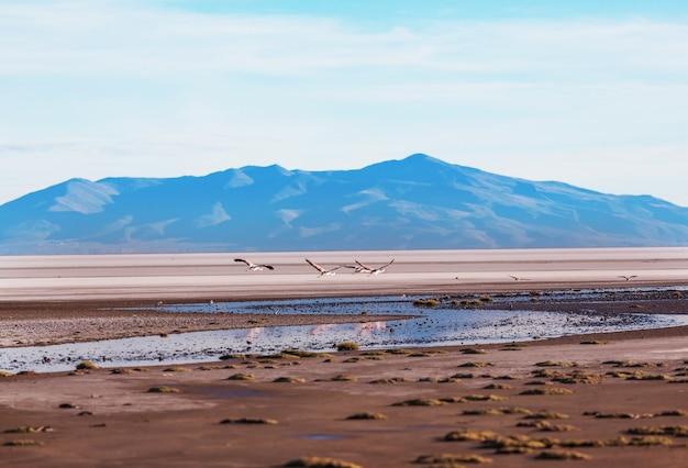 Flamingo dans le lac de la nature sauvage de la faune de l'altiplano bolivien