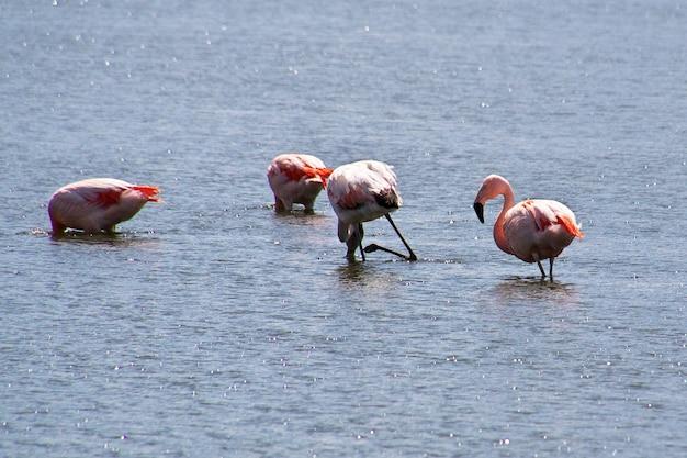 Flamingo à laguna nimez reserva à el calafate patagonie argentine