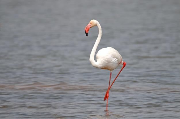 Flamingo phoenicopteridae beaux oiseaux se détendre dans l'étang