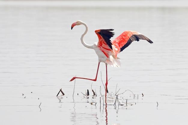 Flamingo phoenicopteridae beaux oiseaux de thaïlande dans l'étang