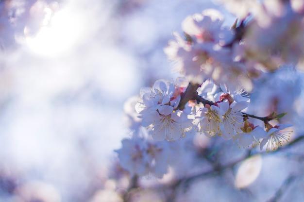 Fleur d'abricot, forme de coeur flou bokeh
