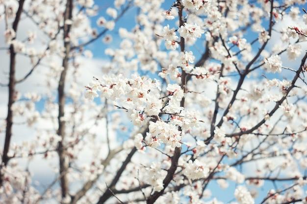 Fleur d'abricot se bouchent. fleur d'abricotier, fond nature saisonnier floral