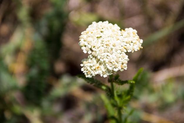 Fleur d'achillée blanche (achillea millefolium). plante médicinale
