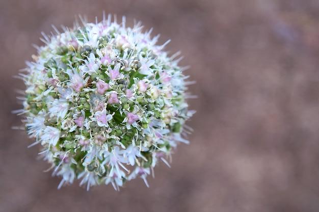 Fleur allium en forme de boule sur fond marron.