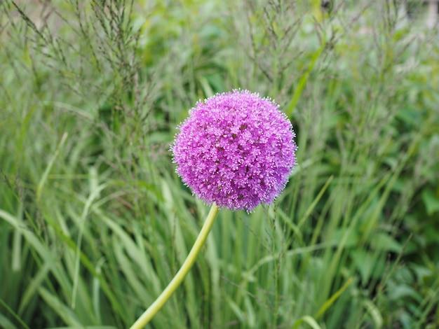 Fleur d'allium violet