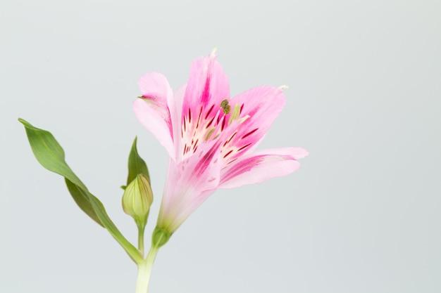 Fleur d'alstroemeria en surface grise