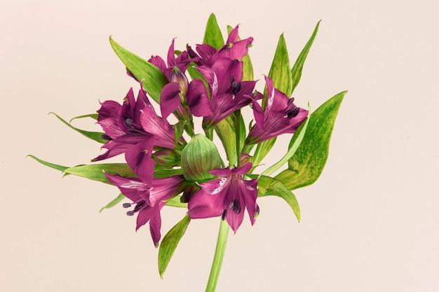 Fleur d'alstroemeria violet frais isolé sur fond beige