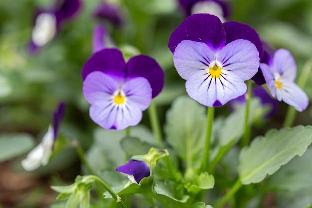 Fleur d'alto dans le jardin au printemps