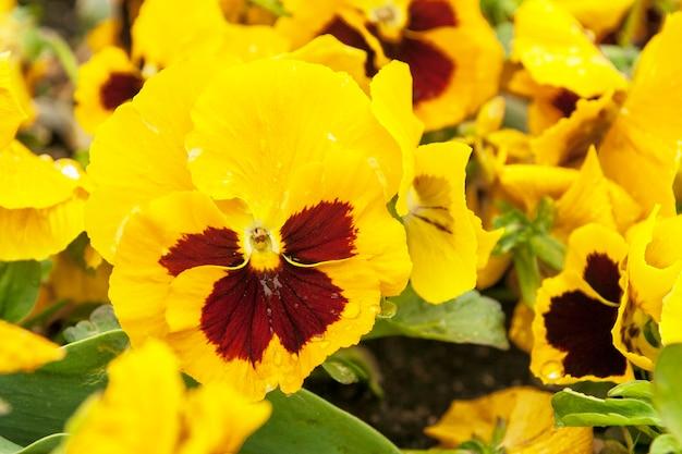 Fleur d'alto jaune fleurie dans le parterre de fleurs. printemps, fleurs d'été