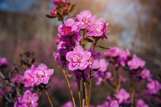 Fleur d'amandier, fleur de cerisier, gros plan, arrière-plan flou. image florale abstraite.
