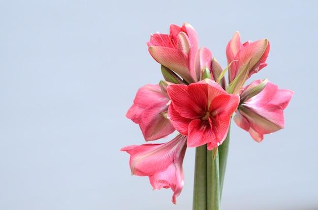 Fleur d'amaryllis rouge pour le fond