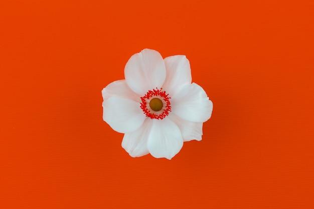 Fleur d'anémone blanche sur fond orange vue de dessus