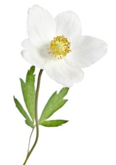 Fleur d'anémone blanche isolée sur blanc