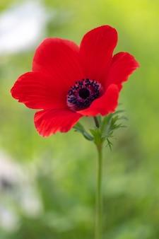 Fleur d'anémone rouge et feuillage sur fond clair.