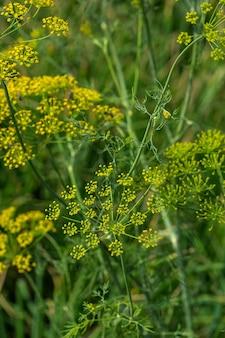 Fleur d'aneth vert (anethum graveolens) poussent dans le domaine agricole.
