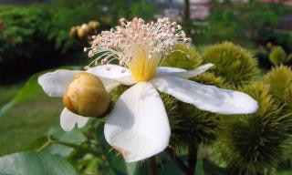Fleur d'annatto